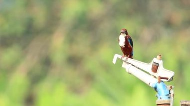 White Throated Kingfisher 2 — Stock Video