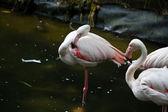 Flamingo acicalarse — Foto de Stock
