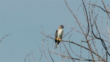 Black Shouldered Kite Eagle 04 — Stock Video