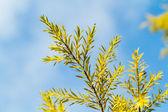 Pine Leaf Close-up Blue Sky — Stock Photo