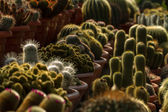 Cactus for sale — Stock Photo