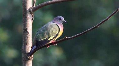 Pink Necked Green Pigeon 2 — Vidéo