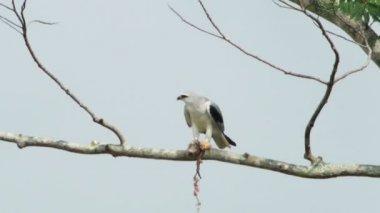 Black Shoulder Kite Feeding — Stock Video