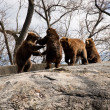 Stock Photo: Bears