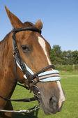 Testa di cavallo — Foto Stock