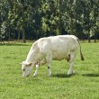 Belgian cow in a typical belgian setting — Stock Photo
