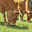 Grazing cows — Stock Photo