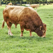Old brown bull  grazing on green grass pasture — Stock Photo