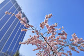 Cherry blossoms with nice modern building in background — Stock Photo
