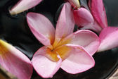 Pink frangipani in the water — Stock Photo