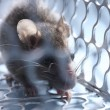 Stock Photo: Rat in a cage