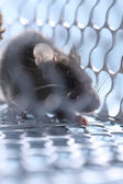 Rat in the caged — Stock Photo