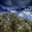 Malta Island, Gozo, countryside, olive trees — Stock Photo