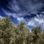 Malta Island, Gozo, countryside, olive trees — Stock Photo