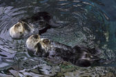 Portugal, Lisbon, Lisbon Oceanarium (Ocean rio de Lisboa), sea otters — Stock Photo
