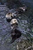 Portugal, Lisbon, Lisbon Oceanarium (Ocean rio de Lisboa), sea otters — Stockfoto