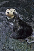 Portugal, Lisbon, Lisbon Oceanarium (Ocean rio de Lisboa), sea otter — Stock Photo