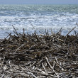Mediterranean Sea, boles and canes carried on the beach by the sea waves — Stock Photo