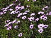 Italy, Sicily, purple daisys in a garden — Stock Photo
