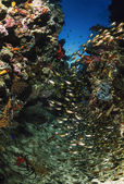 SUDAN, Red Sea, U.W photo, glassfish school — Stock Photo
