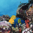 SUDAN, Red Sea, U.W. photo, yellow butterfly fish and coral reef — 图库照片