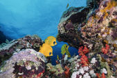 SUDAN, Red Sea, U.W. photo, yellow butterfly fish and coral reef — Stock Photo