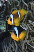 SUDAN, Red Sea, U.W. photo, Clownfish couple (Amphiprion melanopus) and Anemonefish — Stok fotoğraf