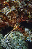 SUDAN, Red Sea, U.W. photo, a Crinoid (Encrinus sp.) on soft coral — Stock Photo