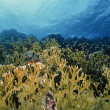 SUDAN, Red Sea, U.W. photo, fire corals (Millepora complanata) — Stok fotoğraf
