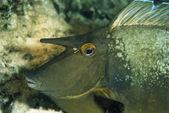 SUDAN, Red Sea, U.W. photo, Unicorn fish (Naso Brevirostris) — Stockfoto
