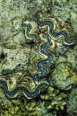 SUDAN, Red Sea, U.W. photo, Tridacna shells (Tridacne gigas) — Stock Photo