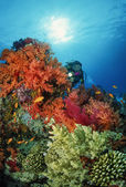 SUDAN, Red Sea, U.W. photo, diver and tropical alcyonarian (soft coral) — Stockfoto