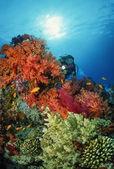 SUDAN, Red Sea, U.W. photo, diver and tropical alcyonarian (soft coral) — Stock fotografie