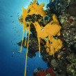 SUDAN, Red Sea, U.W. photo, yellow sponges (Clathrina canariensis) in the reproduction season — Stock Photo