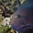Black Surgeonfish — Stock Photo