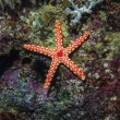 Stock Photo: SUDAN, Red Sea, U.W. photo, tropical starfish