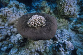 SUDAN, Red Sea, U.W. photo, sponge and hard coral — Stock Photo