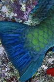 SUDAN, Red Sea, U.W. photo, tropical parrot fish tale (Scarus vetula) — Stock Photo