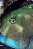 SUDAN, Red Sea, U.W. photo, tropical parrot fish (Scarus vetula) — Stock Photo
