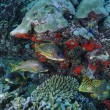 SUDAN, Red Sea, U.W. photo, Blackspotted grunts — Stock Photo