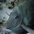 SUDAN, red Sea, U.W. photo, Red Sea Sailfin Tang  — Stock Photo