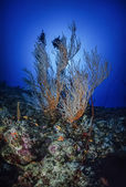 SUDAN, Red Sea, U.W. photo, Whip gorgonians (Junceella) and tropical Anthias — Stock Photo