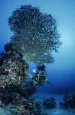 SUDAN, Red Sea, U.W. photo, staghorn coral (Acropora cervicornis) and a diver — Stock Photo