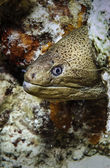 SUDAN, Red Sea, U.W. photo, tropical moray eel — Stock Photo