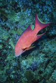SUDAN, Red Sea, U.W. photo, tropical spotted red grouper (Epinephelus sp.) — ストック写真
