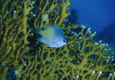 SUDAN, Red Sea, U.W. photo, small Sergeant fish (Abudefdur saxatilis) and Fire coral in the background — Stock Photo