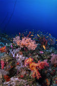 SUDAN, Red Sea, U.W. photo, tropical alcyonarians (soft coral) and Anthias — Stock Photo