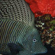 SUDAN, red Sea, U.W. photo, Red Sea Sailfin Tang (Zebrasoma desjardinii) — Stock Photo