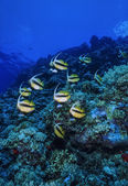 SUDAN, Red Sea, U.W. photo, Bannerfish school (Heniochus intermedius) — Stock Photo
