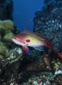 SUDAN, Red Sea, U.W. photo, tropical Anthias (Pseudanthias squamipinnis) — Stock Photo